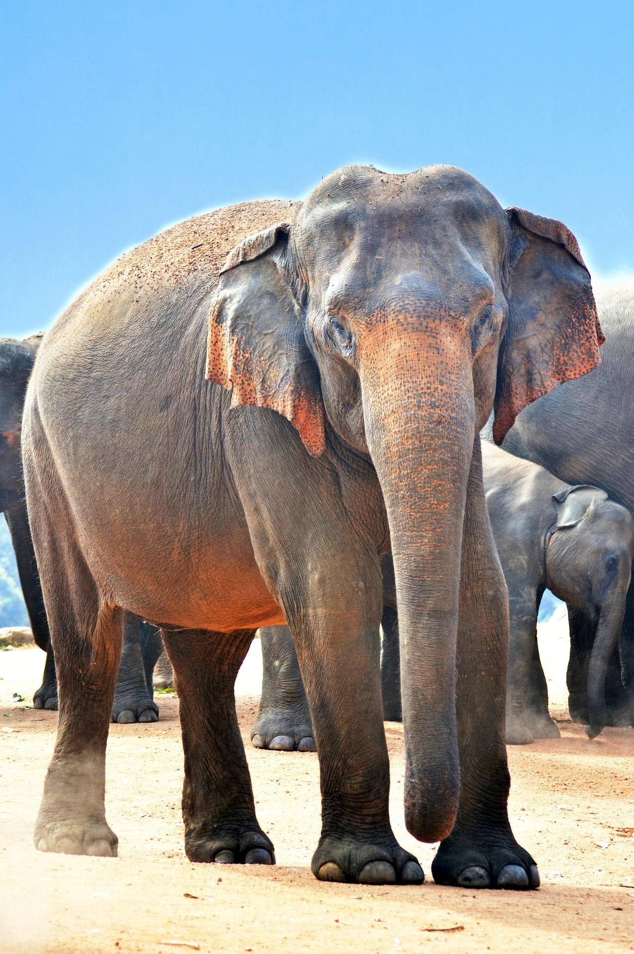 indian-elephant-264749_1920