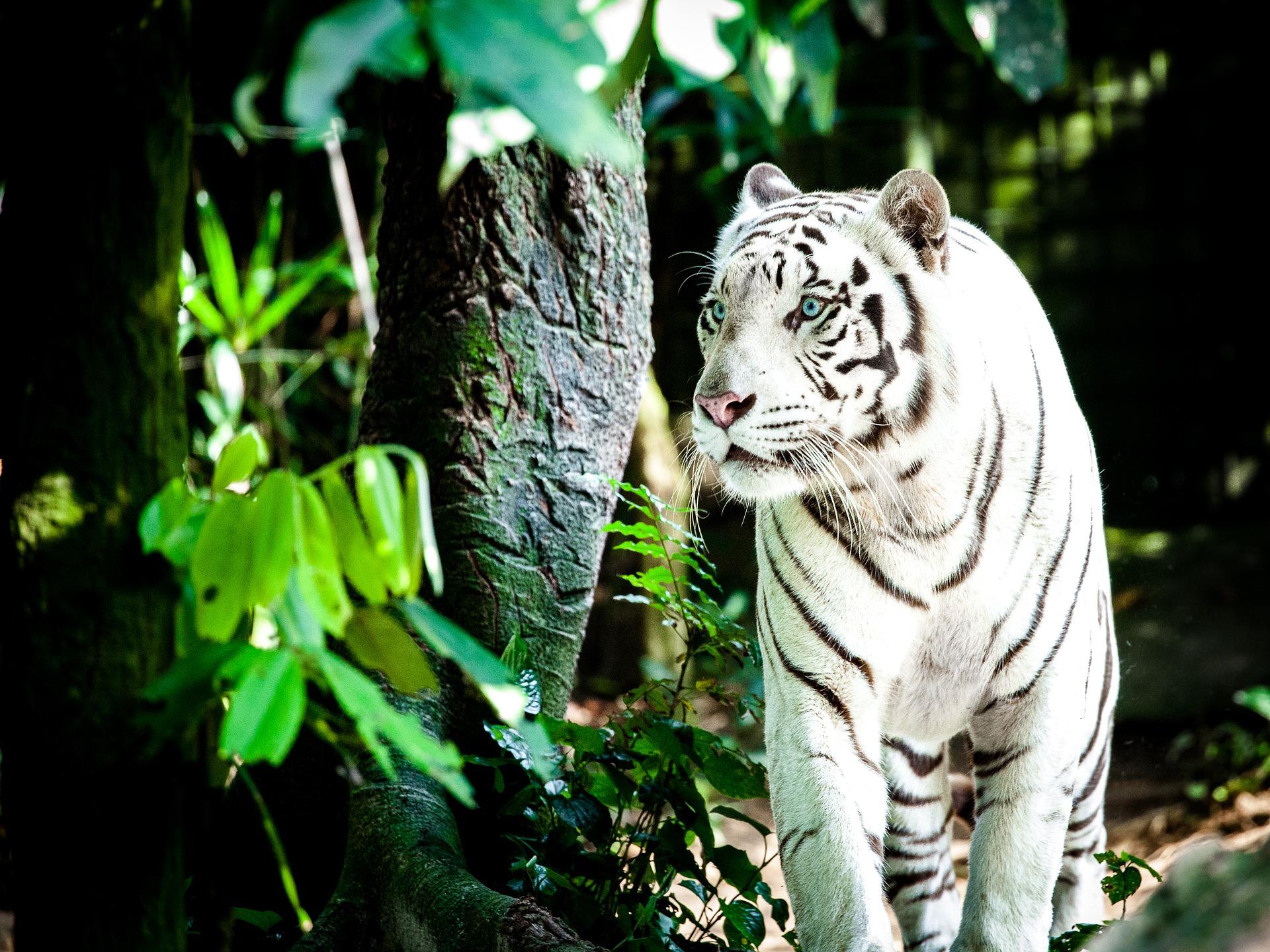 tiger-1545023_1920